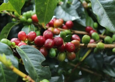 Minga From Field To Filter: Coffee Reacts and Adapts to the Covid Era